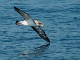 Comienza la campaña de seguimiento de aves marinas en Andalucía