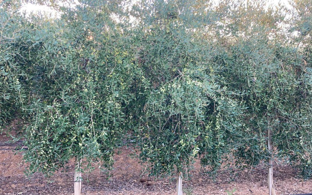 Santa Cruz Ingeniería logra una ayuda DIVA de 60.000€ para aplicar Inteligencia Artificial a la gestión de plagas del olivar