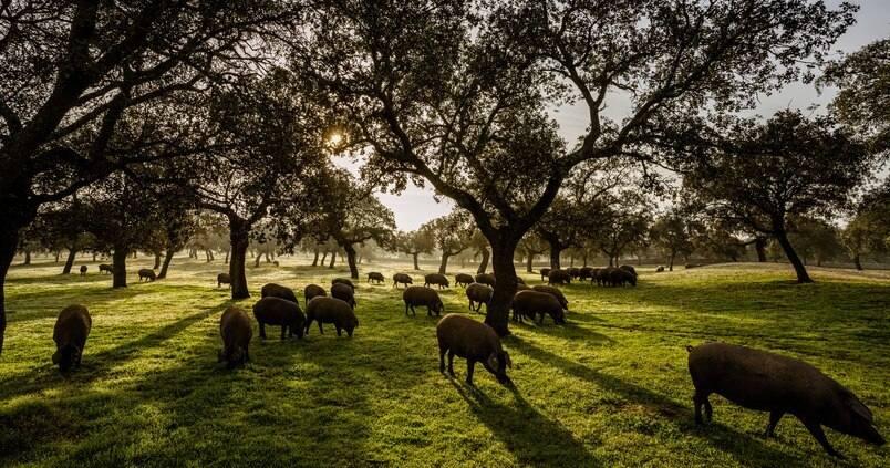 El Dehesafío inicia una campaña recaudación de fondos para la siembra de encinas en la Comarca de los Pedroches