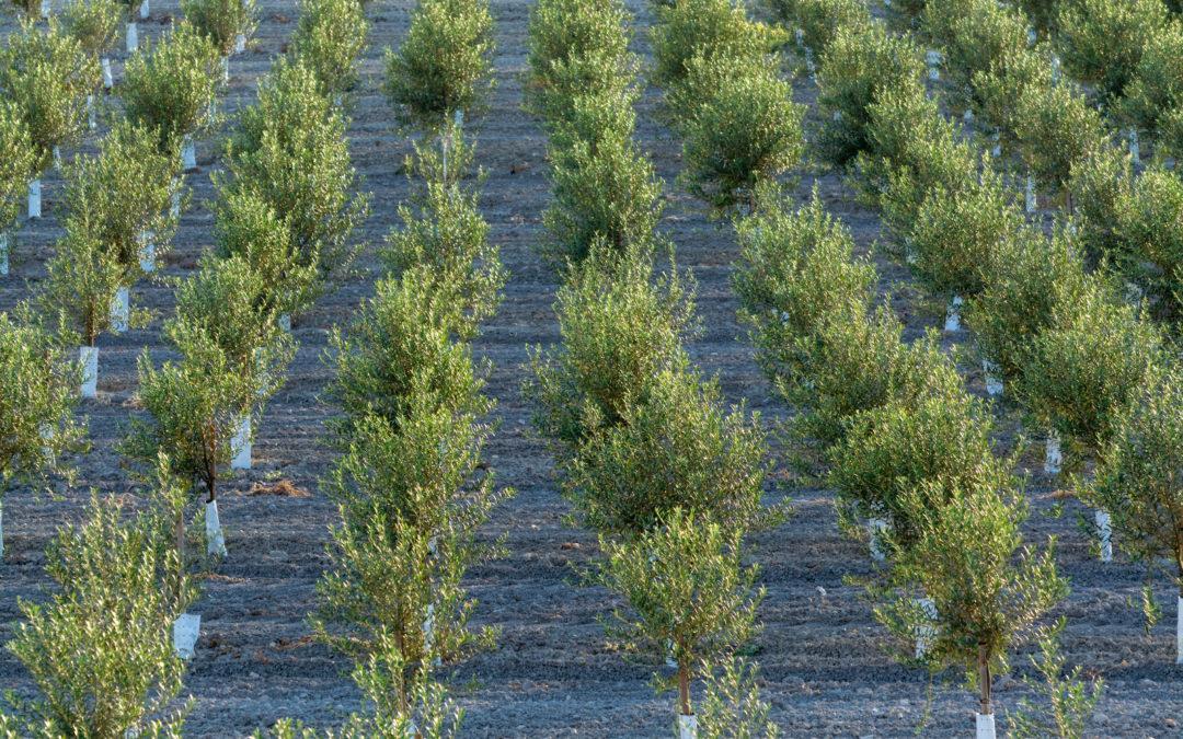 Abierta la convocatoria de GEN4OLIVE con 750.000€ para proyectos que contribuyan a la mejora genética del olivo