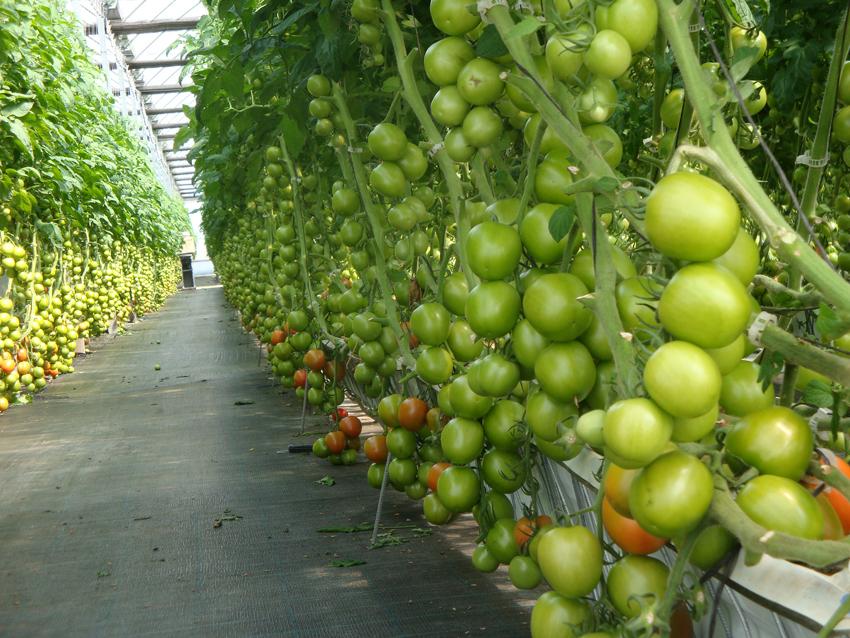 El proyecto VIRTIGATION, financiado con fondos europeos, aborda las  enfermedades víricas en tomates y cucurbitáceas